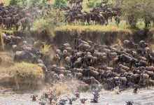 Wildebeest Migration in Tanzania